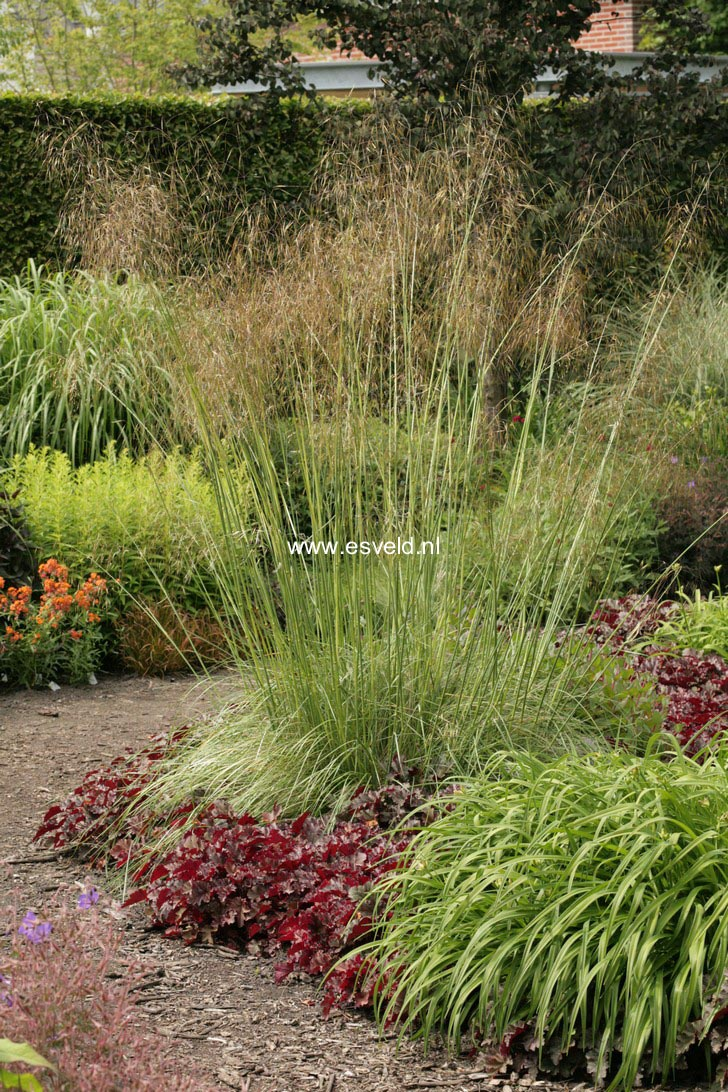 Pictures and description of stipa gigantea for Ornamental grasses for small spaces