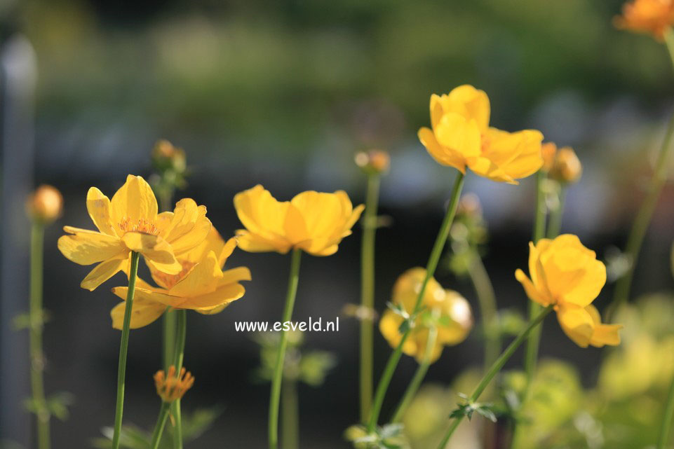Trollius 'Lemon Queen'