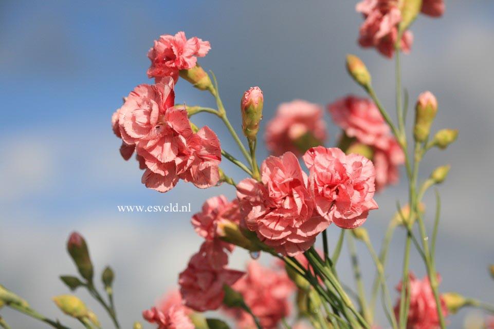 Dianthus allwoodii 'Helen'