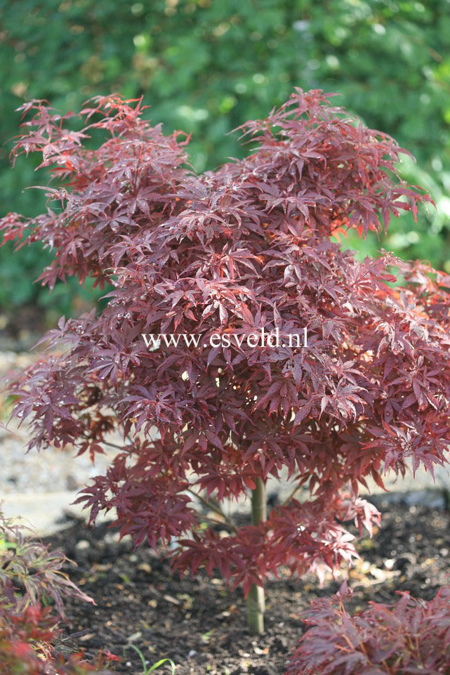 picture and description of acer palmatum 39 skeeter 39 s broom 39. Black Bedroom Furniture Sets. Home Design Ideas
