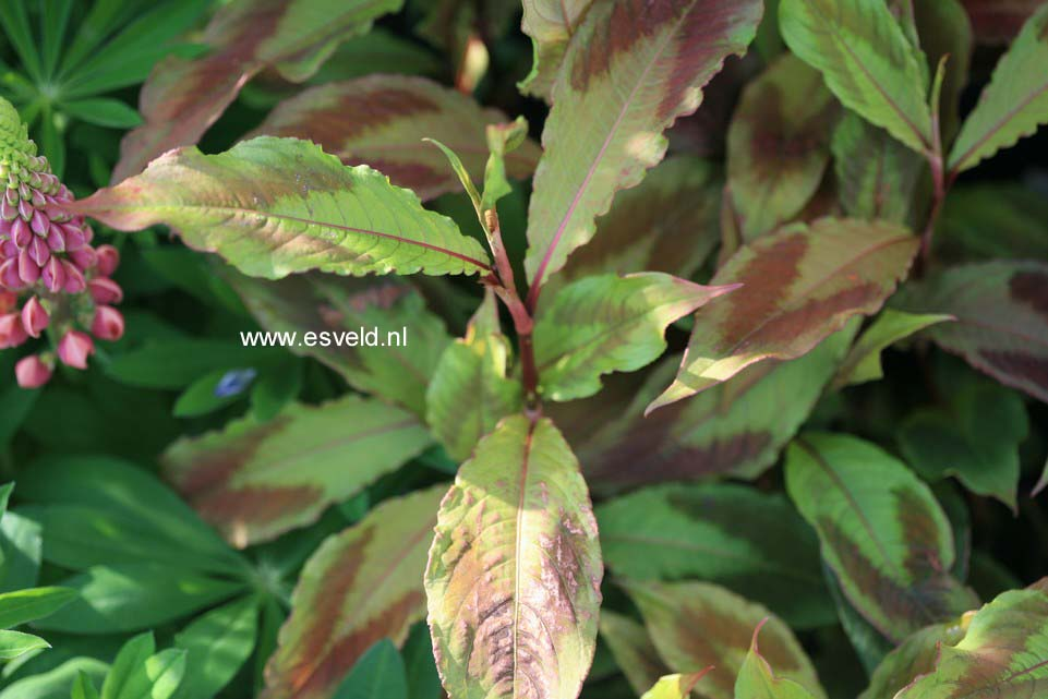 Persicaria filiforme 'Painter's Palette'