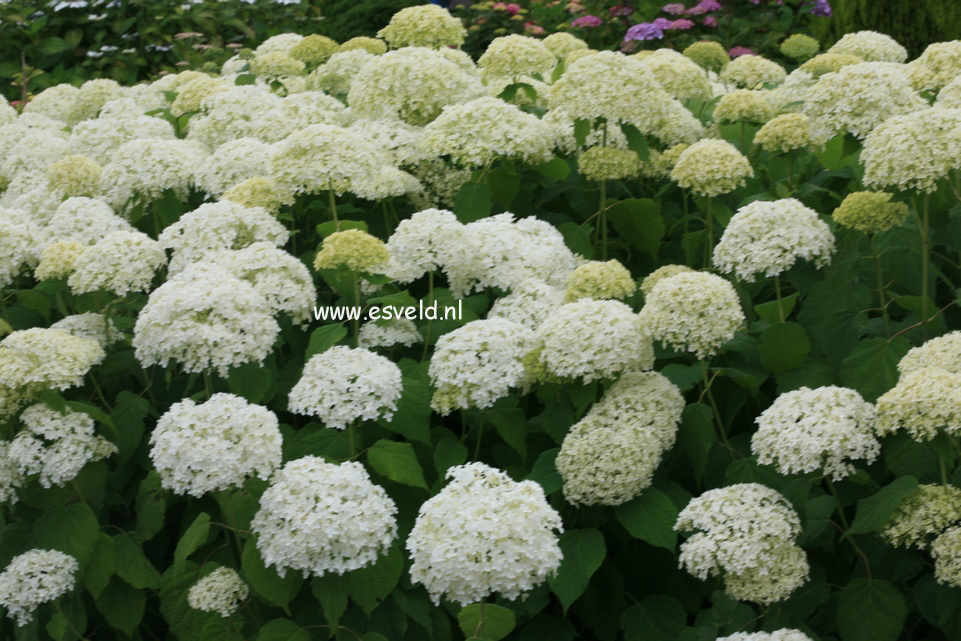 hydrangea arborescens 39 annabelle 39. Black Bedroom Furniture Sets. Home Design Ideas