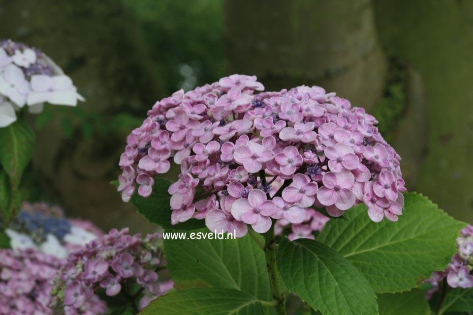 Hydrangea macrophylla 'Ayesha'