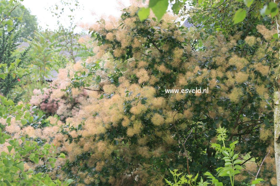 Cotinus coggygria 'Green Fountain'