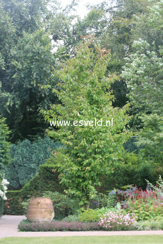 picture and description of parrotia persica 39 vanessa 39. Black Bedroom Furniture Sets. Home Design Ideas