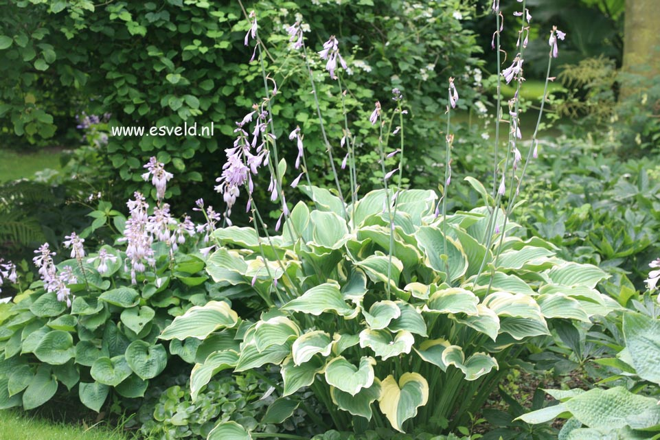 Picture And Description Of Hosta Regal Splendor