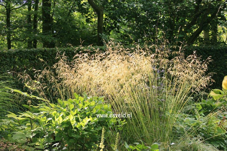 Deschampsia cespitosa 'Goldschleier'