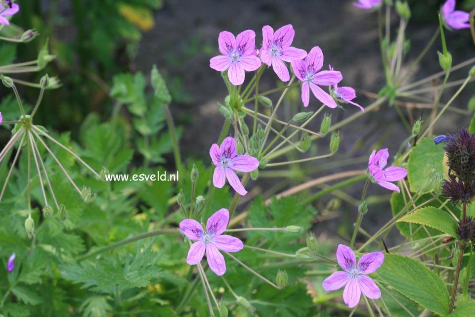 Erodium manescavii