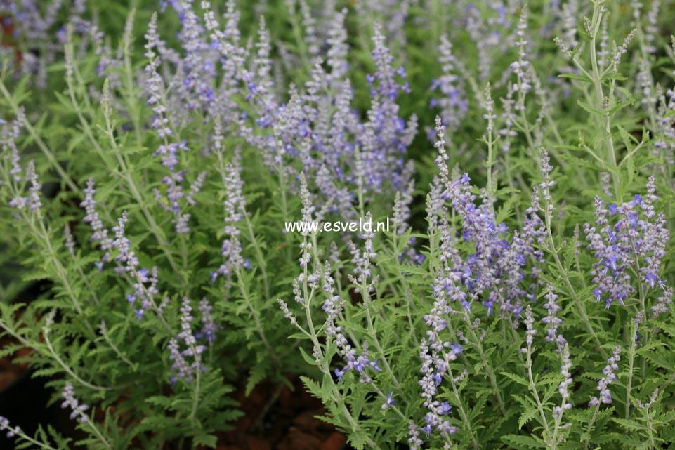 Perovskia atriplicifolia 'Lisslitt' (LACEY BLUE)