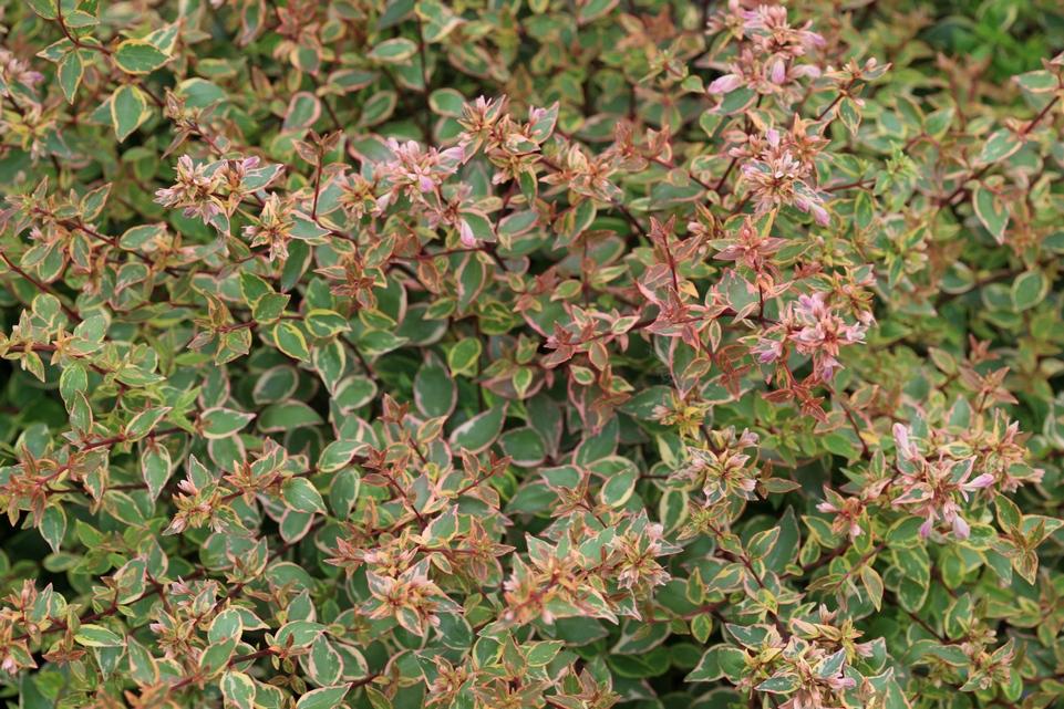 Picture And Description Of Abelia Grandiflora Abelops Sunshine