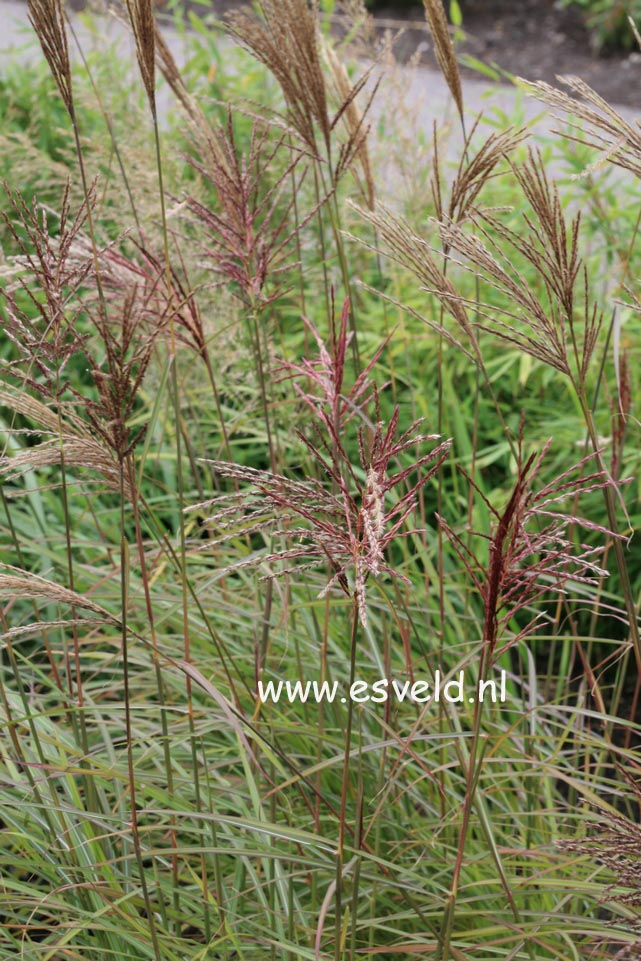 Miscanthus sinensis 'Sioux'