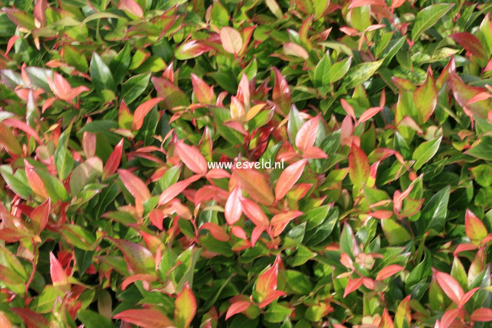 Leucothoe Axillaris Scarletta Scarletta Leucothoe 39