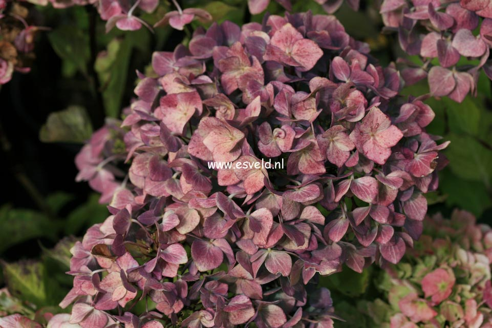 Hydrangea macrophylla 'Blue Ball' BLACK STEEL