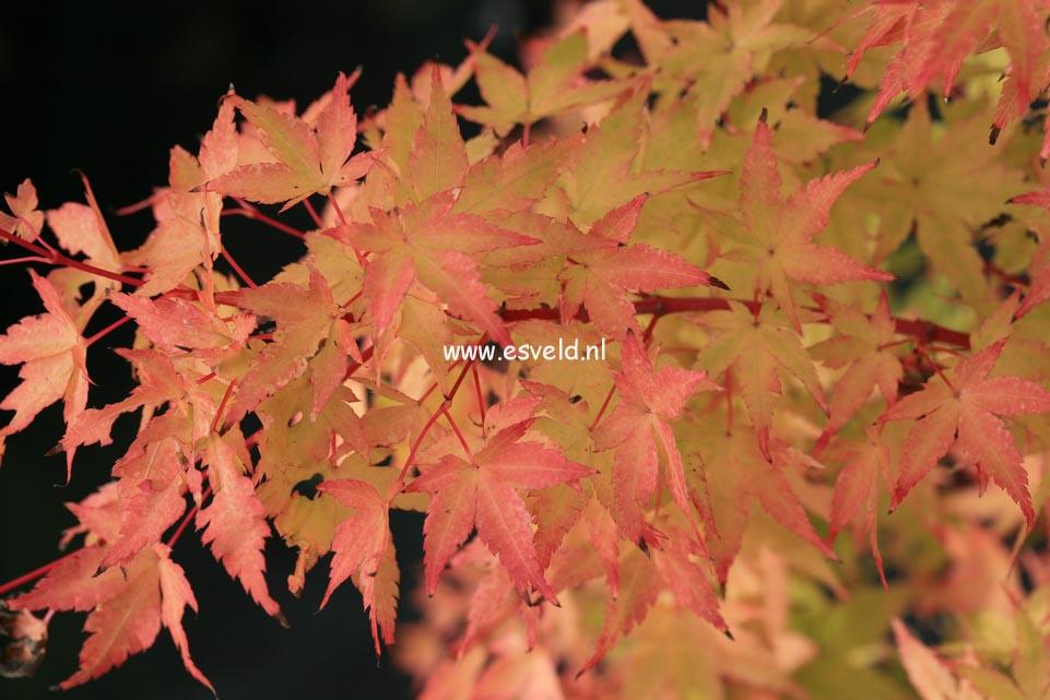 Picture And Description Of Acer Palmatum Winter Flame