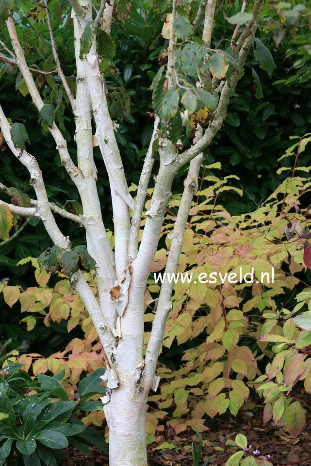 Abbildung Und Beschreibung Von Betula Utilis Silver Shadow