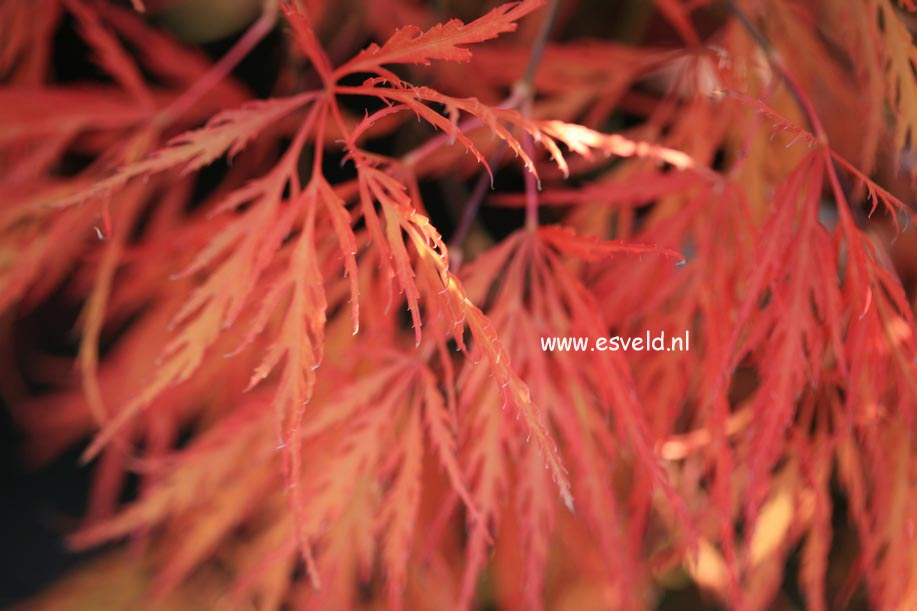 Picture And Description Of Acer Palmatum Dragons Fire