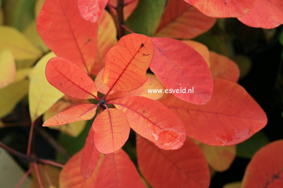 Pictures and description of Cotinus Flame - www.esveld.nl