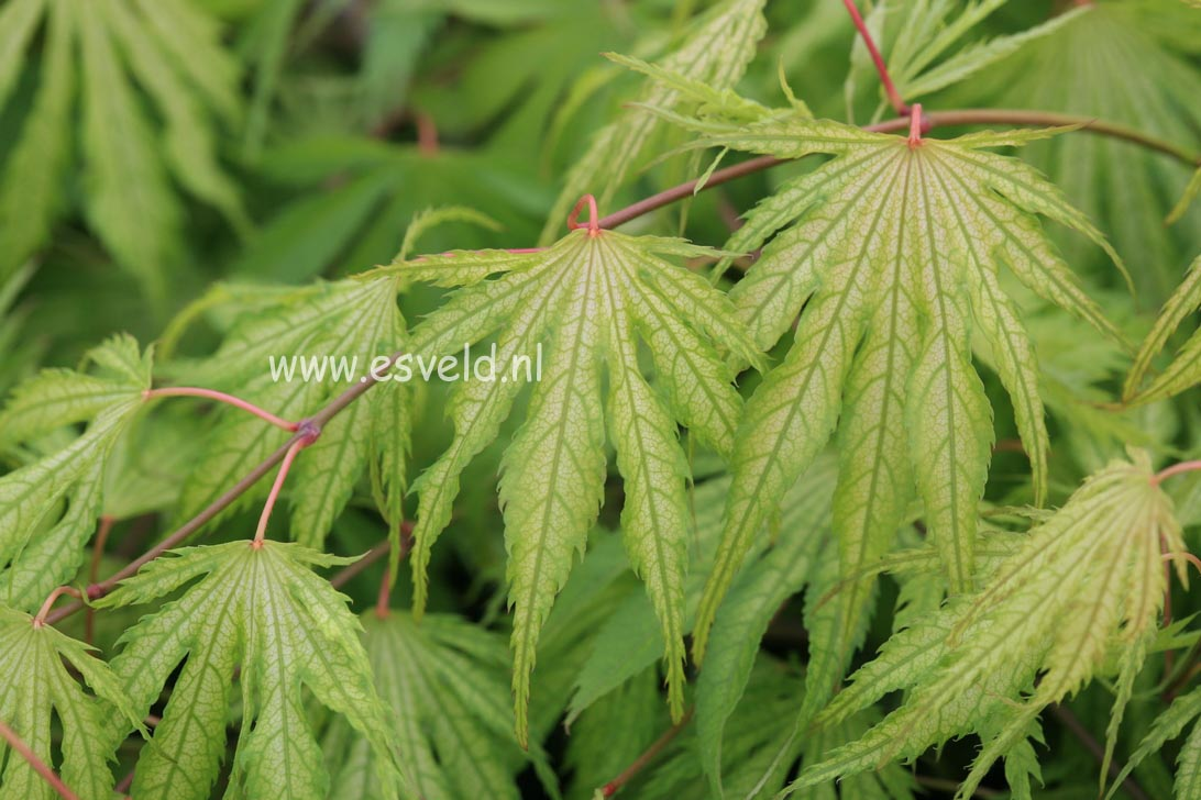 Picture And Description Of Acer Palmatum Tiger Rose