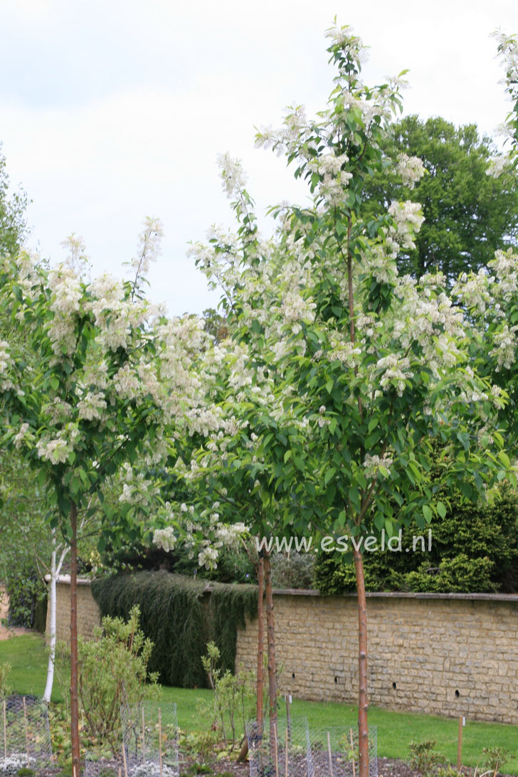 Beautiful home gardens - Picture And Description Of Prunus Maackii Amber Beauty