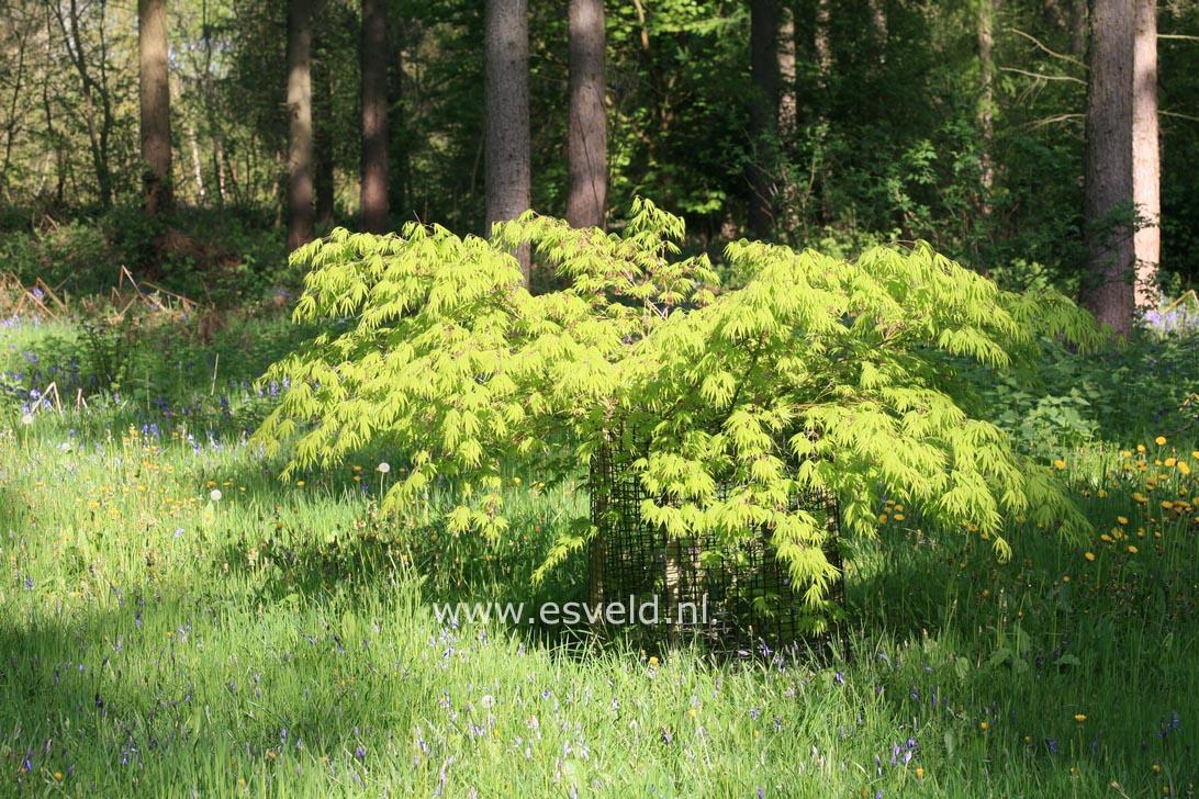 Picture And Description Of Acer Palmatum Killarney