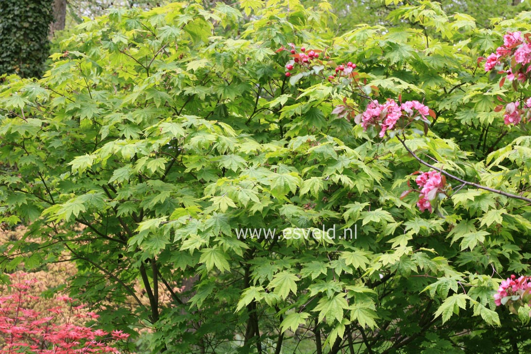 pictures and description of acer japonicum vitifolium. Black Bedroom Furniture Sets. Home Design Ideas