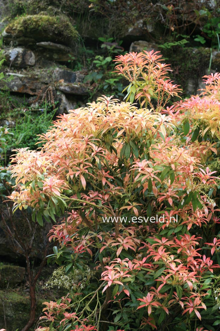 Pieris 'Firecrest'