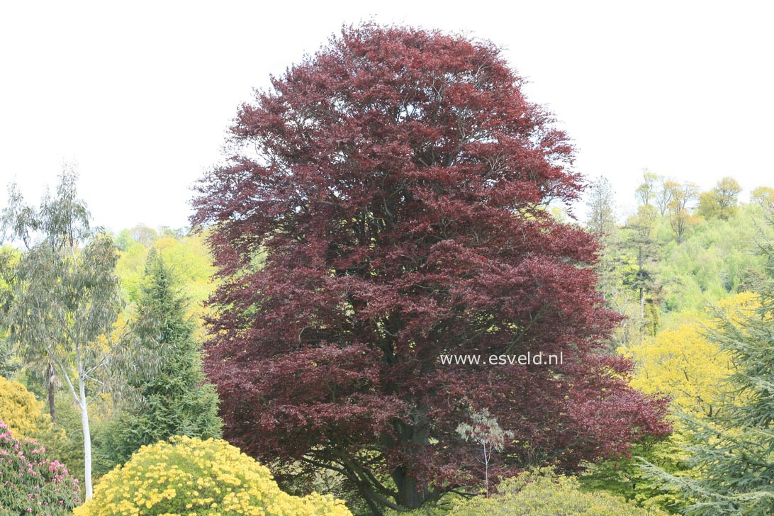 picture and description of fagus sylvatica 39 purpurea. Black Bedroom Furniture Sets. Home Design Ideas