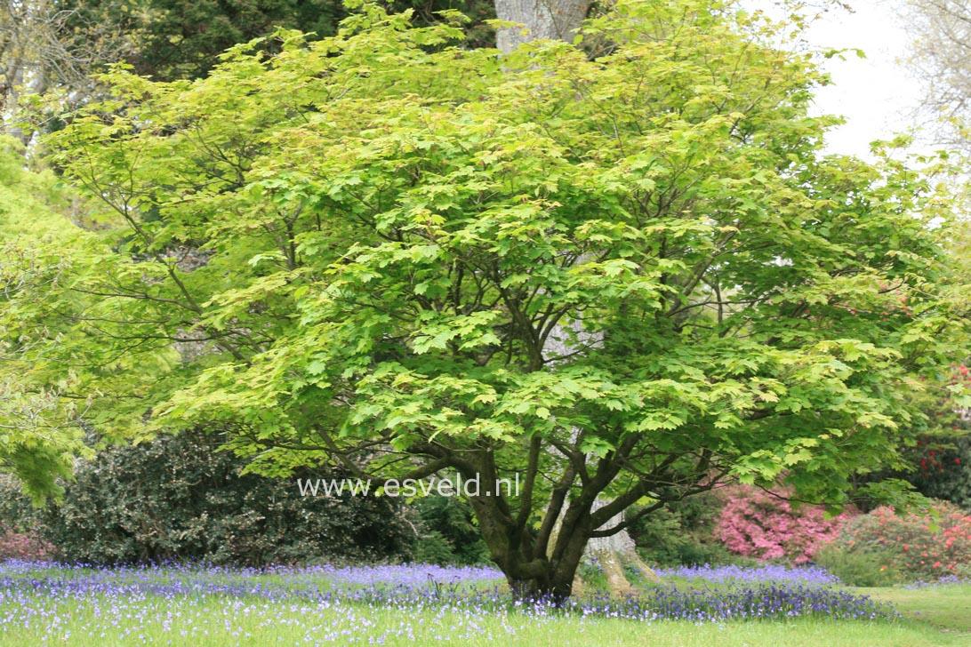 pictures and description of acer japonicum vitifolium. Black Bedroom Furniture Sets. Home Design Ideas