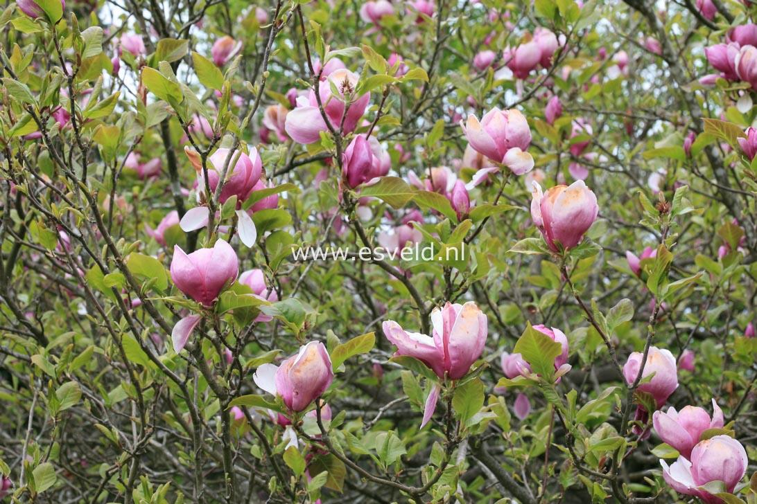 Picture And Description Of Magnolia Soulangeana Lennei