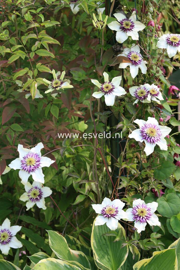 picture and description of clematis florida 39 sieboldii 39. Black Bedroom Furniture Sets. Home Design Ideas