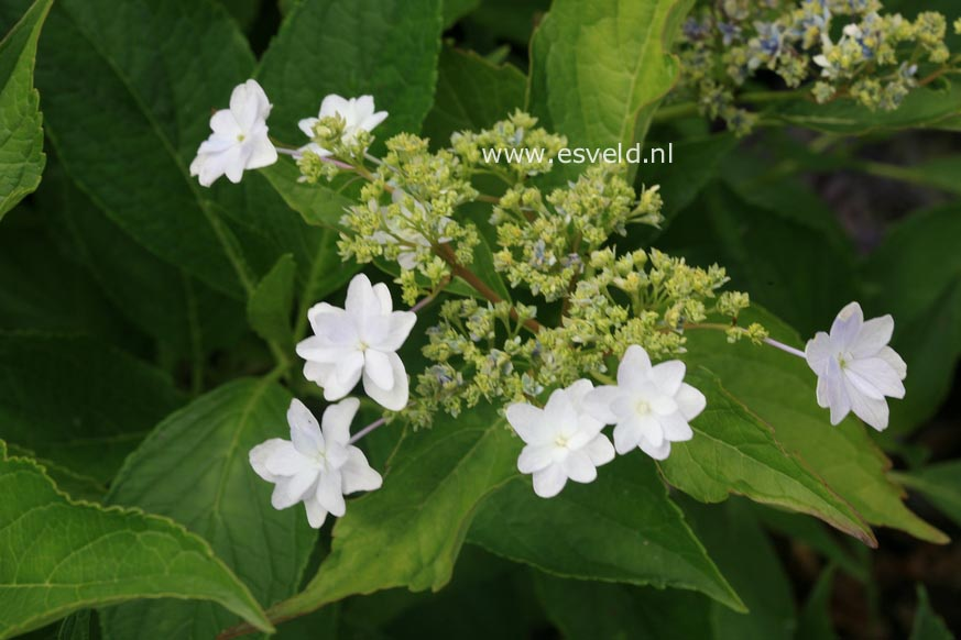 Hydrangea macrophylla 'Sumida-no-hanabi'