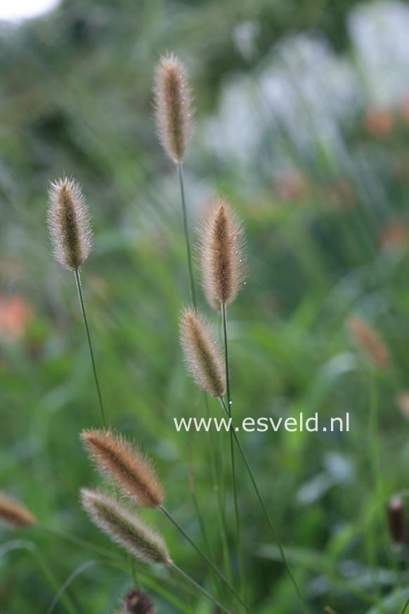 Pennisetum 'Red Bunny Tails'