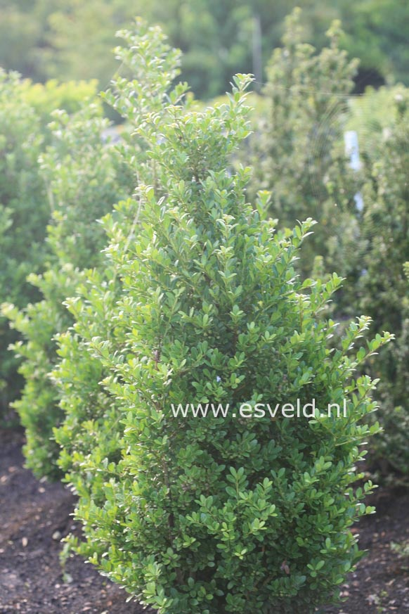 Ilex maximowicziana var. kanehirae