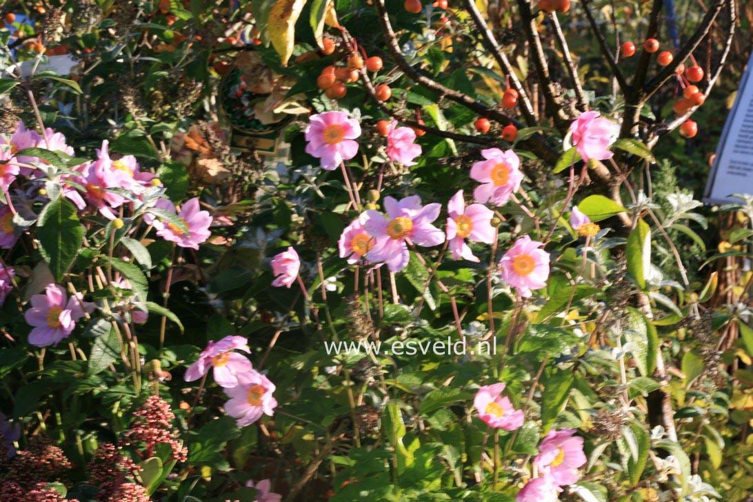Anemone hybrida 'Serenade'