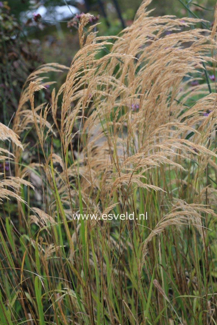 Stipa calamagrostis