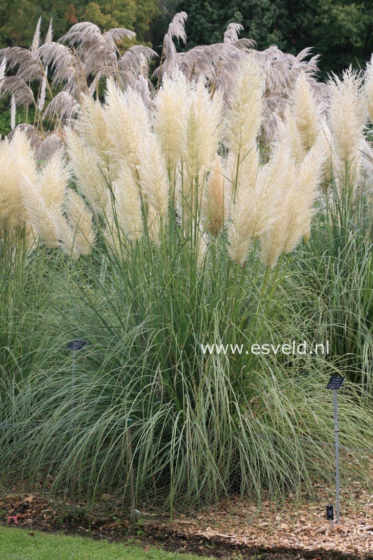 pictures and description of cortaderia selloana pumila. Black Bedroom Furniture Sets. Home Design Ideas