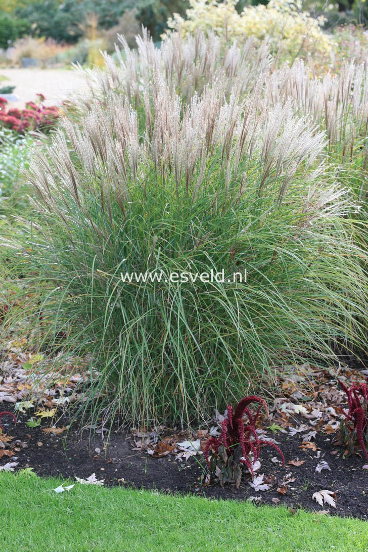 miscanthus sinensis 39 kleine silberspinne 39. Black Bedroom Furniture Sets. Home Design Ideas