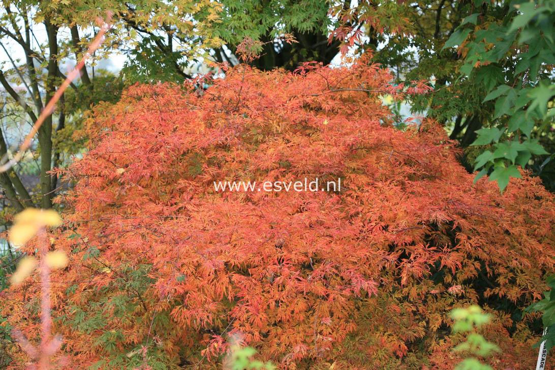 Picture And Description Of Acer Japonicum Green Cascade