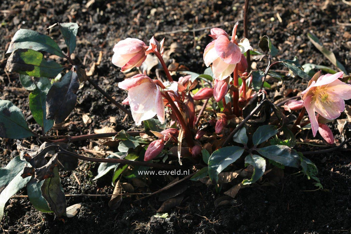 Helleborus 'Winter Sunshine' (28838)