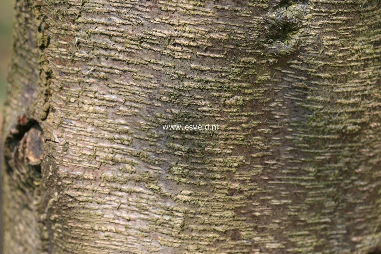 Zuckerbirke aus nordamerik a mit goldgelber herbstfarbe pflanzenhöhe