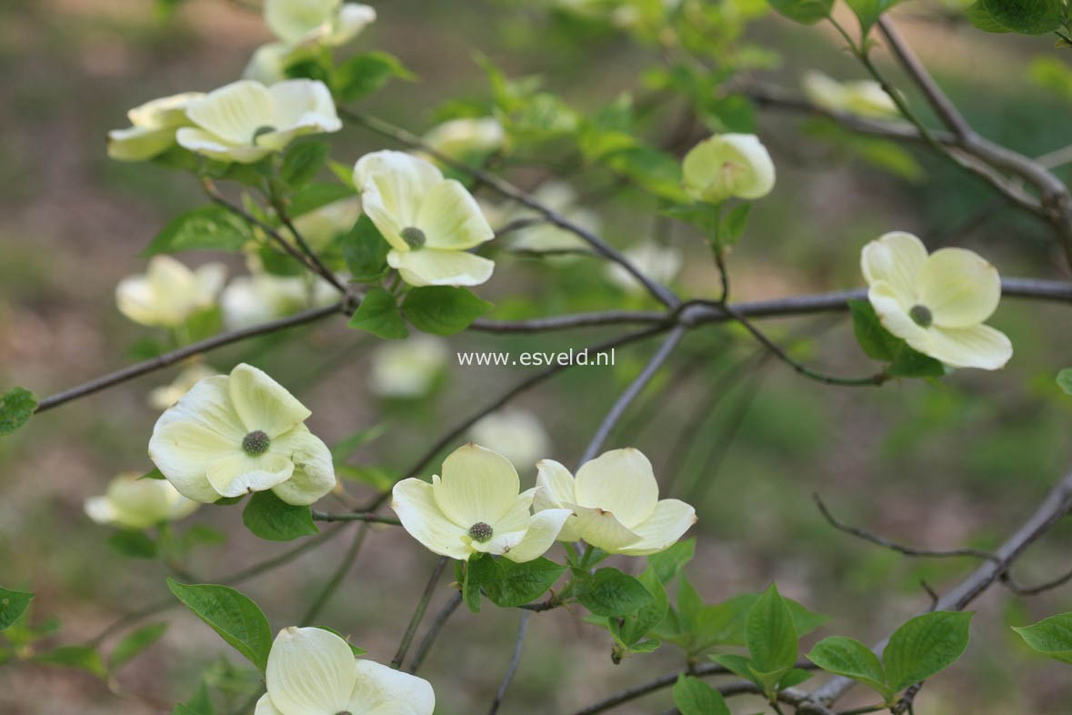 Cornus nuttallii 'Pink Blush'