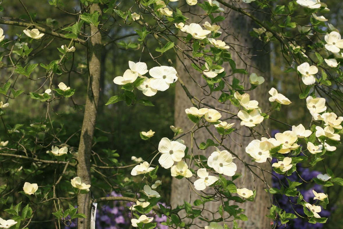 Cornus 'Ormonde'
