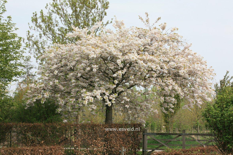 Des petits arbres pour petits jardins jardin du sens - Les plus beaux arbustes persistants ...