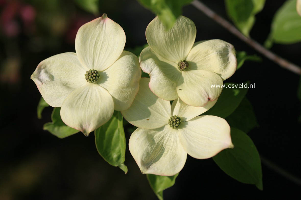 Cornus 'Rutban' (AURORA)