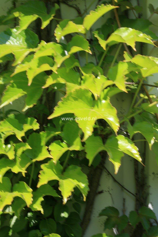 parthenocissus tricuspidata image 100. Black Bedroom Furniture Sets. Home Design Ideas