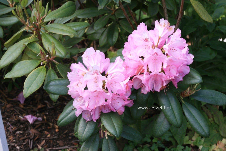 Rhododendron kwekerij boskoop