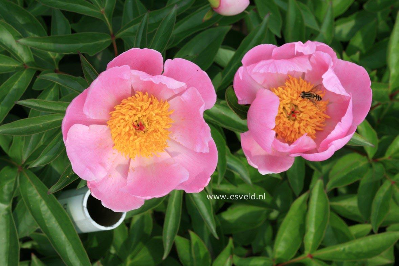 Paeonia officinalis var. banatica