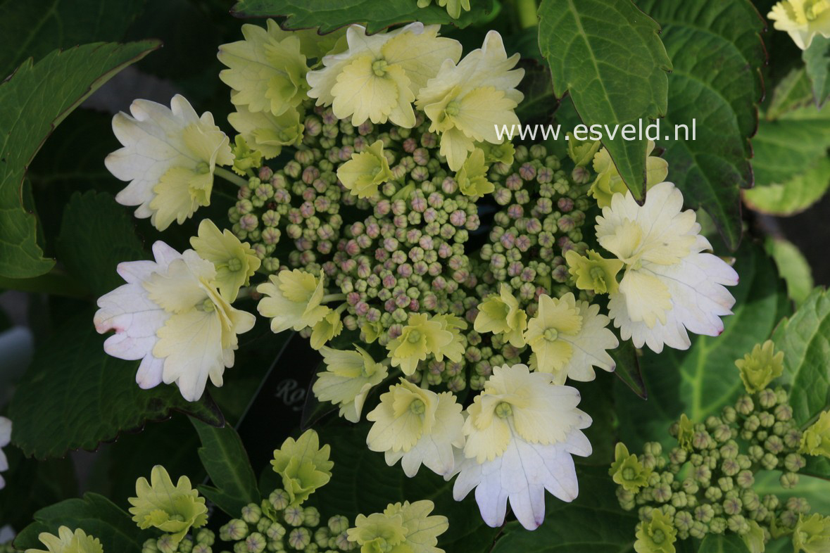 Hydrangea macrophylla 'Koria'