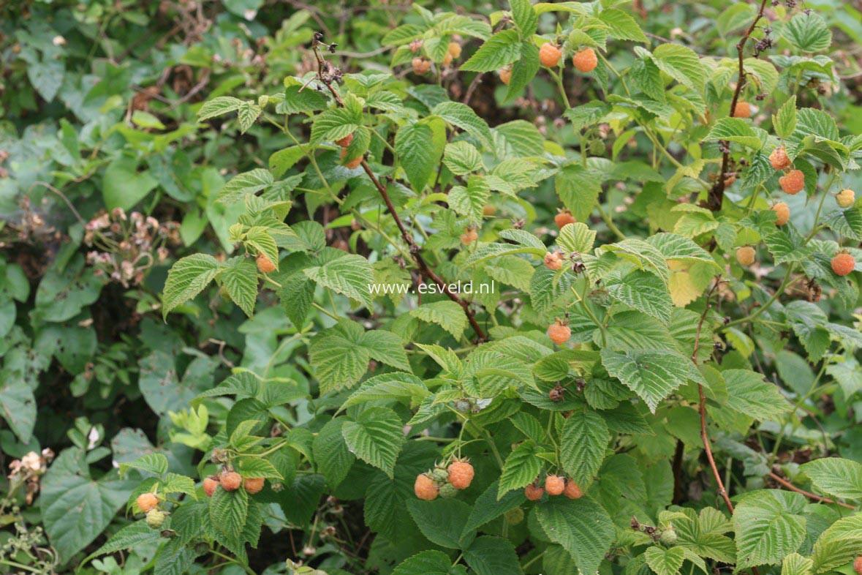 Rubus idaeus 'Fallgold'