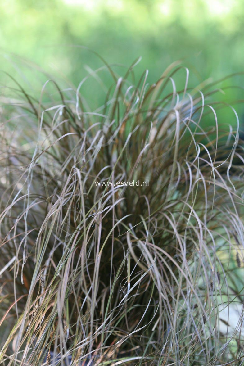 Carex flagellaris (30645)